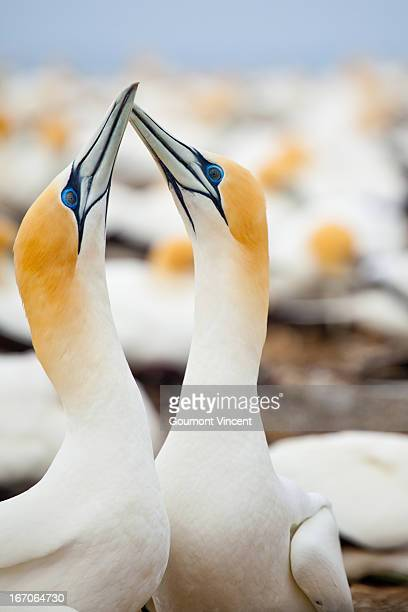 australasian gannets - gannet stock photos and pictures