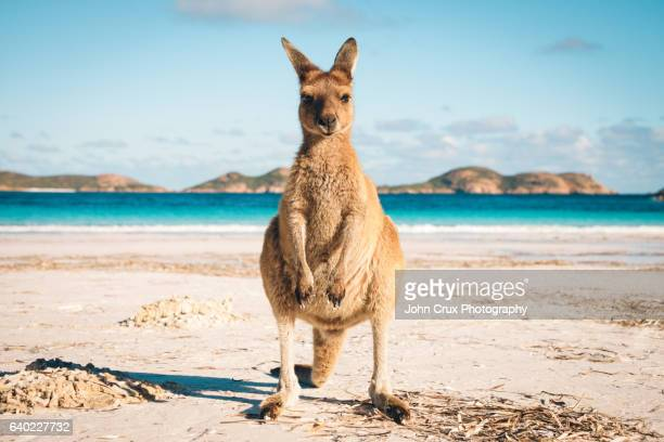 australia beach kangaroo - animal themes stock pictures, royalty-free photos & images