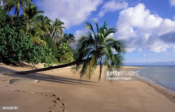 Australia Bedarra Island Palm Tree Leaning Out Over Beach