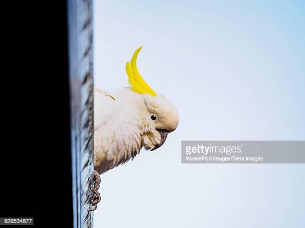 Australia, Blue Mountains, Sulphur-crested cockatoo (Cacatua galerita) perching on roof