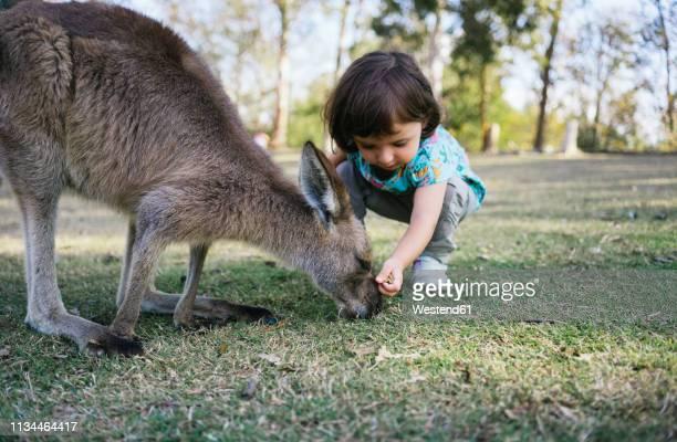 australia, brisbane, little girl feeding kangaroo - marsupial imagens e fotografias de stock