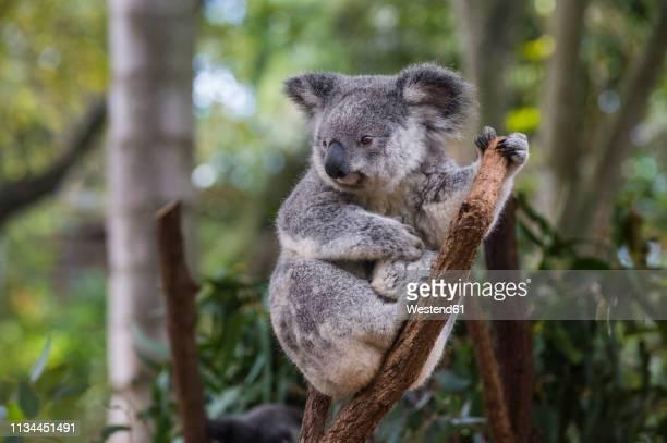 australia, brisbane, lone pine koala sanctuary, portrait of koala perching  on tree trunk - brisbane stock pictures, royalty-free photos & images