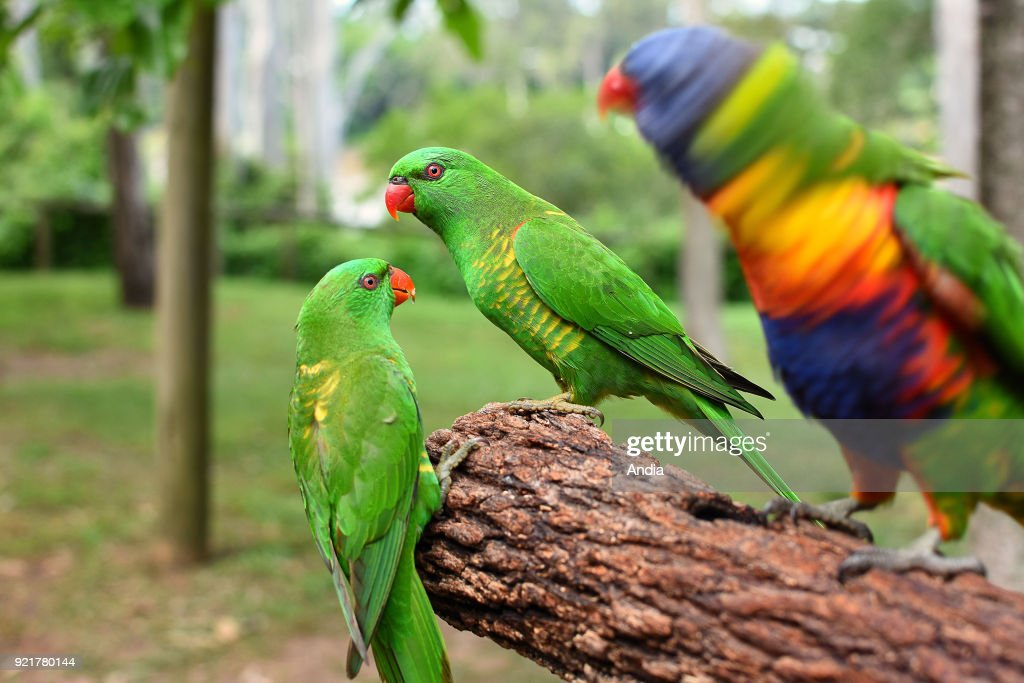 scaly-breasted lorikeets, trichoglossus chlorolepidotus.