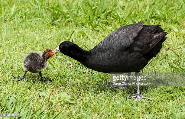 Australia Coot feeding chick