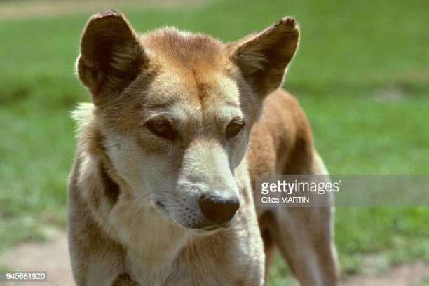 Australia Dingo