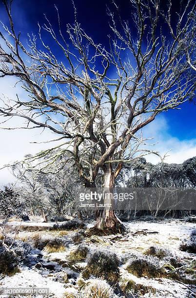 Australia, Dinner Plain, snow covered field with bare Mountain Snow Gum tree