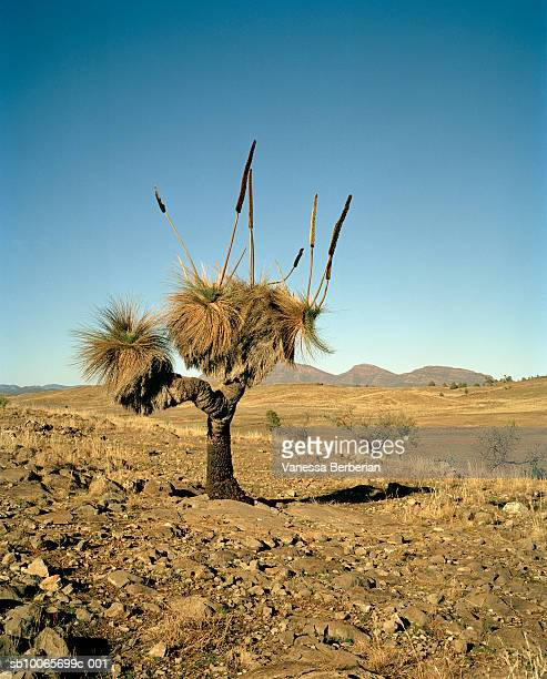 Australia,  Flinders Ranges, Blackboy( Xanthorrhoea preissii) on desert