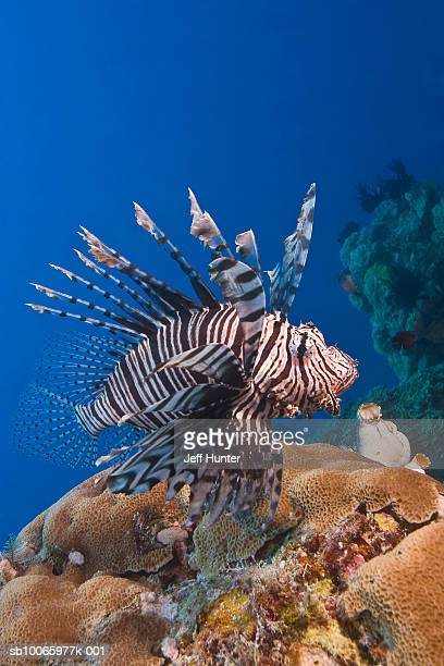 Australia, Great Barrier Reef, Common Lionfish over reef