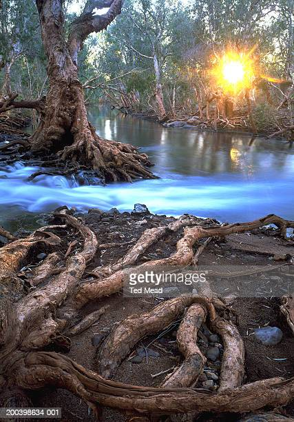 australia, great sandy desert, paperbark trees along river - great sandy desert fotografías e imágenes de stock