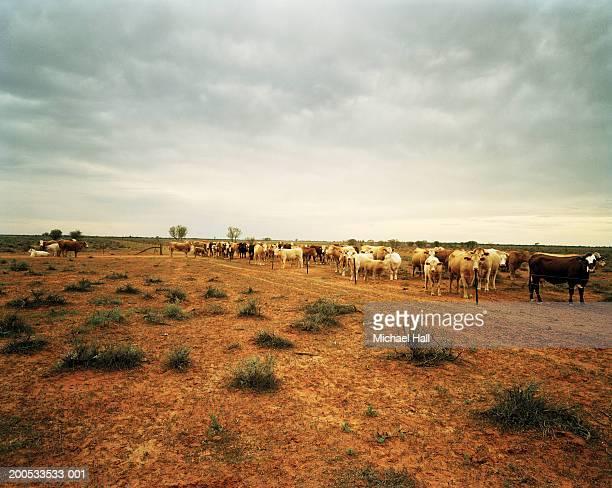 Australia, herd of cattle in landscape