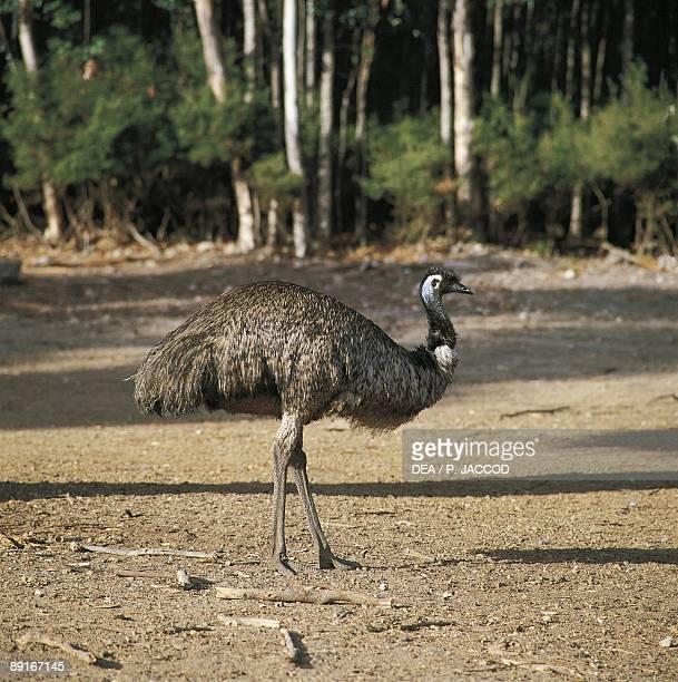 Australia Kangaroo Island Emu