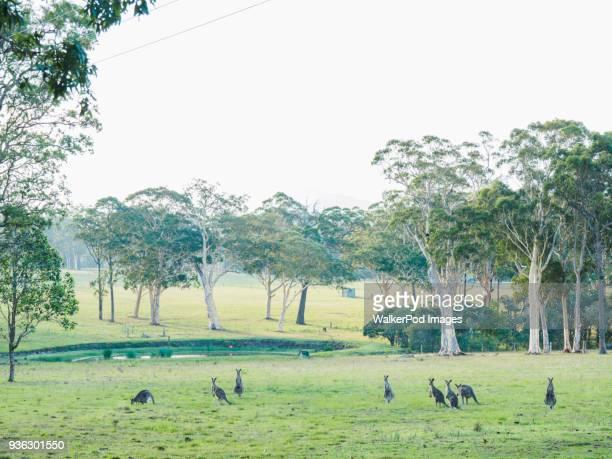 australia, kangaroo valley, mob of kangaroos (macropodidae) - kangaroo stock pictures, royalty-free photos & images