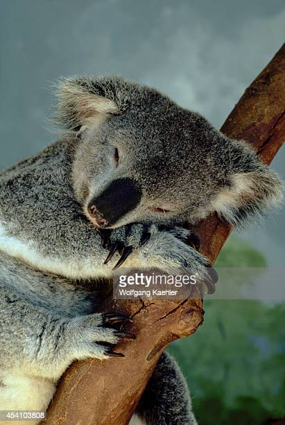 Australia Koala Bear Sleeping
