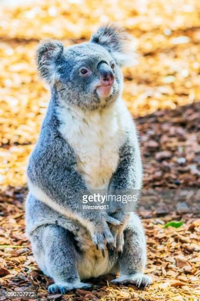 australia, korala, phascolarctos cinereus - coala imagens e fotografias de stock
