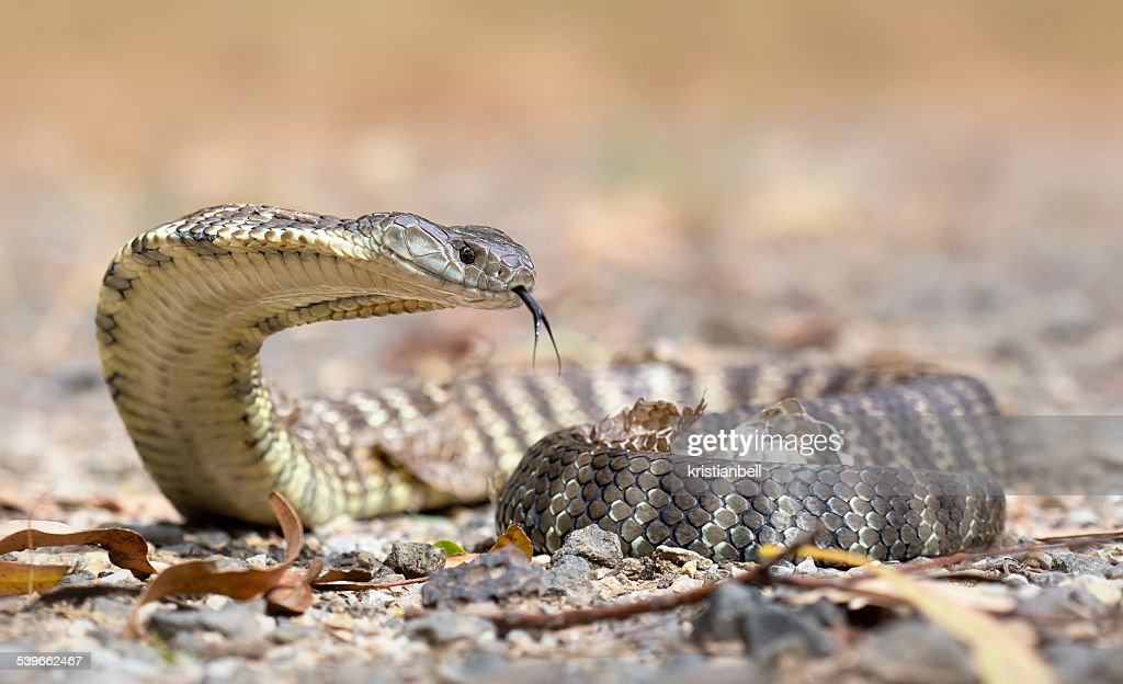 Australia, Melbourne, Tiger snake crawling on rocky surface : Stock Photo