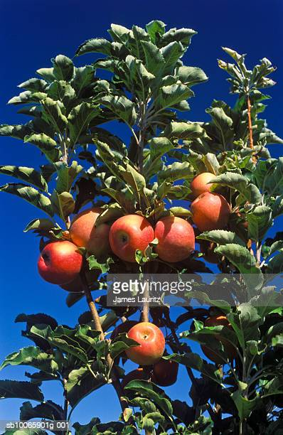 australia, menindee, royal gala apples on tree - royal gala apple stock photos and pictures