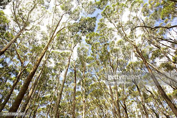 Australia, New South Wales, Booderee National Park,  Eucalyptus forest