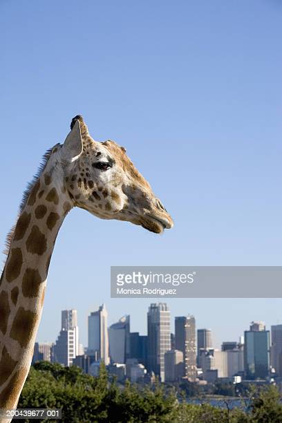 australia, new south wales, giraffe in sydney zoo and skyline - taronga zoo stock pictures, royalty-free photos & images