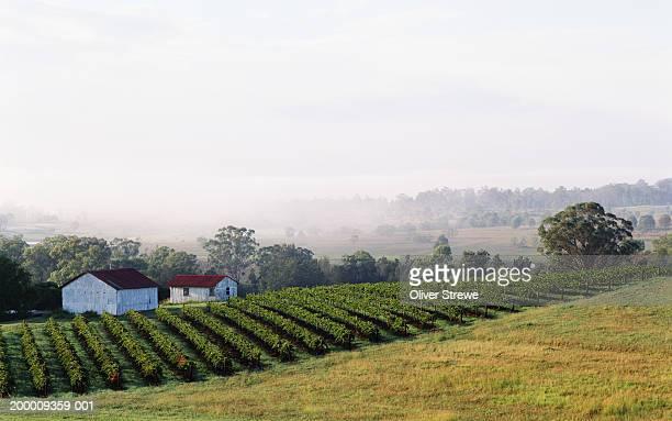 Australia, New South Wales, Hunter Valley, vineyard in morning mist