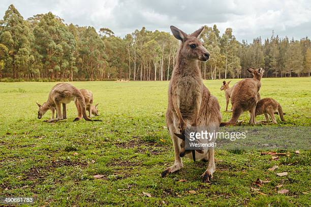 australia, new south wales, kangoroos, some with joey (macropus giganteus) on meadow - kangaroo stock pictures, royalty-free photos & images