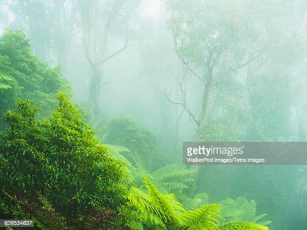 australia, new south wales, katoomba, rainforest in fog - katoomba stock pictures, royalty-free photos & images