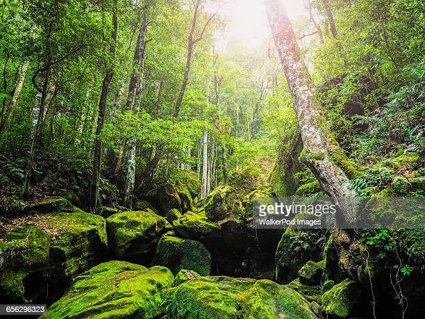 Australia, New South Wales, Katoomba, Rocks covered in moss in forest