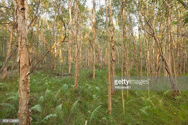 Australia, New South Wales, Pottsville, fern plants and broad-leaved paperbarks, Melaleuca