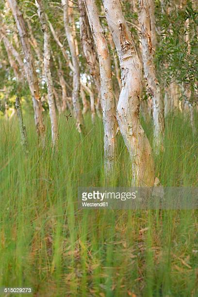 Australia, New South Wales, Pottsville, paper bark tea trees