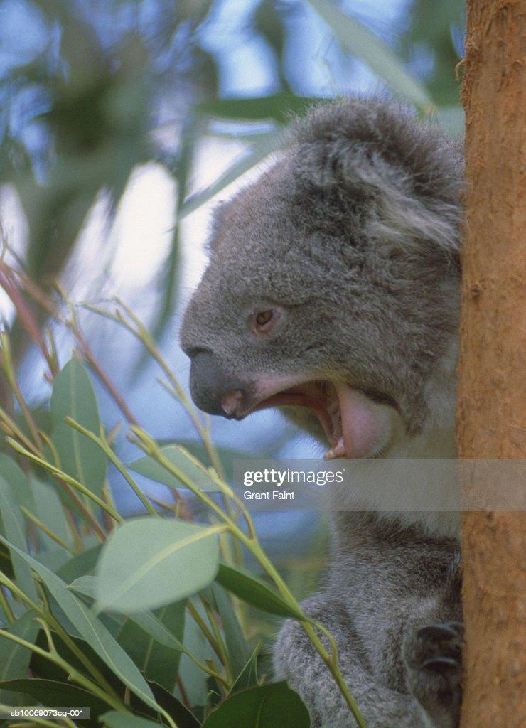 Australia, New South Wales, Sydney, Koala yawning on tree : Stockfoto