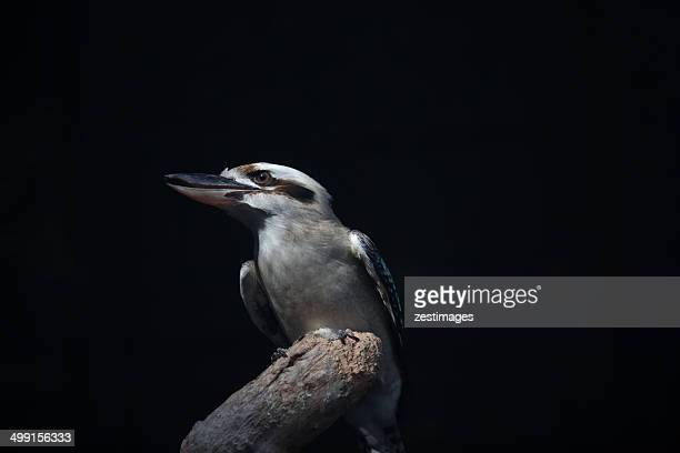 Australia, New South Wales, Sydney, Kookaburra