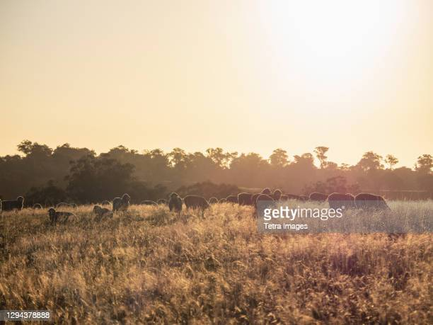 australia, new south whales, kandos, sheep grazing at sunset - australia stock pictures, royalty-free photos & images
