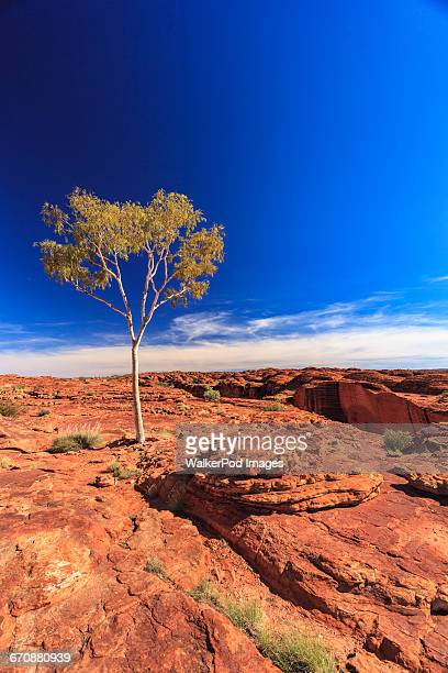 Australia, Outback, Northern Territory, Red Centre, West Macdonnel Ranges, Kings Canyon, Lonely tree in red rock desert