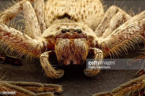 australia perth huntsman spider - huntsman spider stock pictures, royalty-free photos & images