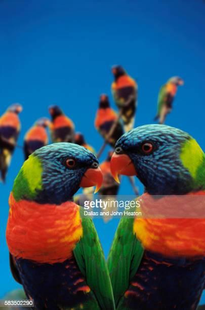 Australia, Queensland, Gold Coast, Rainbow Lorikeets