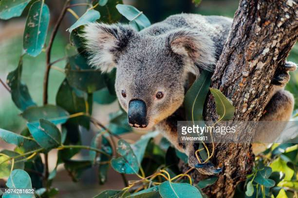 australia, queensland, koala perching on tree - koala stock photos and pictures