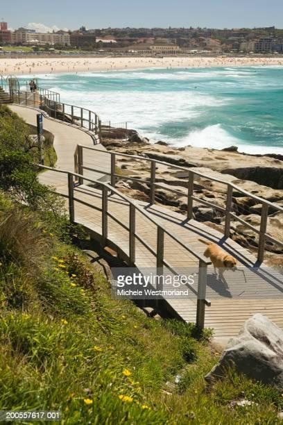australia, sydney, bondi beach, dog walking on promenade - 沿岸 ストックフォトと画像