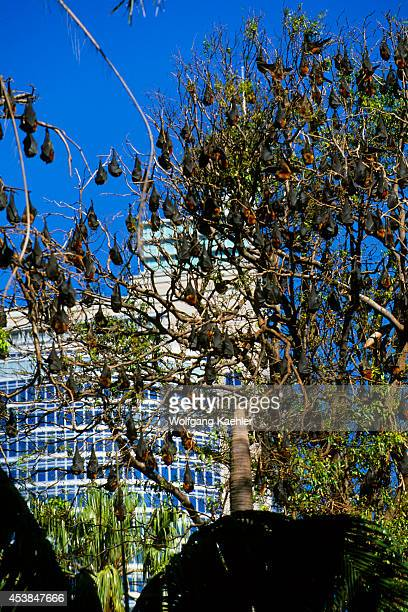 Australia Sydney Royal Botanical Garden Gray Headed Flying Foxes Downtown In Background