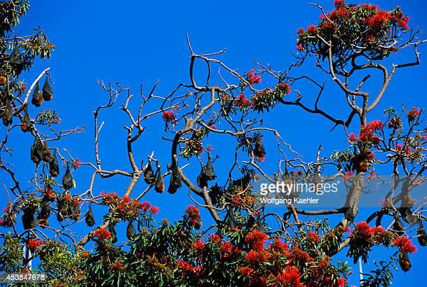 Australia Sydney Royal Botanical Garden Gray Headed Flying Foxes Sleeping In Tree Red Flowers