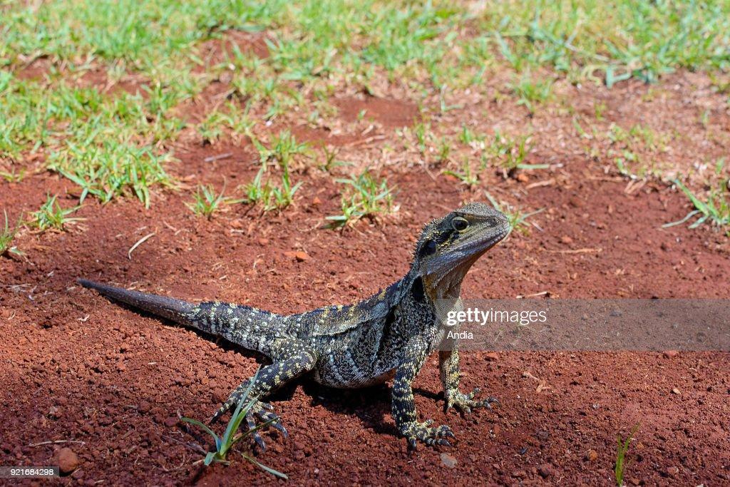 Water dragon. : News Photo