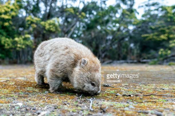 australia, tasmania, maria island, foraging wombat - wombat stock pictures, royalty-free photos & images