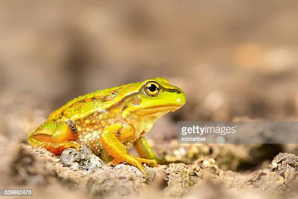 Australia, Victoria, Growling grass frog sitting on dirt