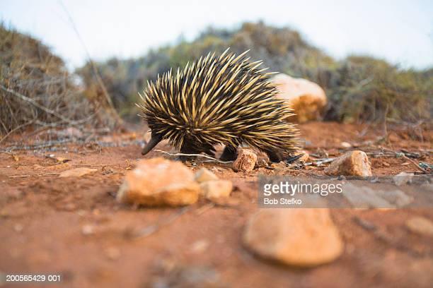 Australia, Western Australia, Cape Range National Park, Echidna