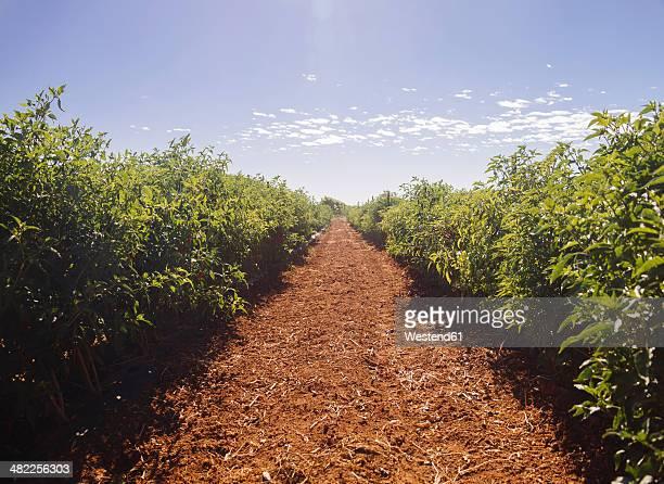 Australia, Western Australia, Carnarvon, Chilli plants on farm