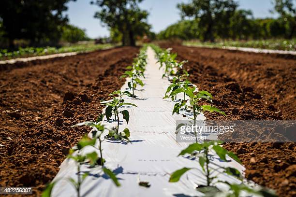 australia, western australia, carnarvon, chilli plants on farm - carnarvon western australia stock photos and pictures