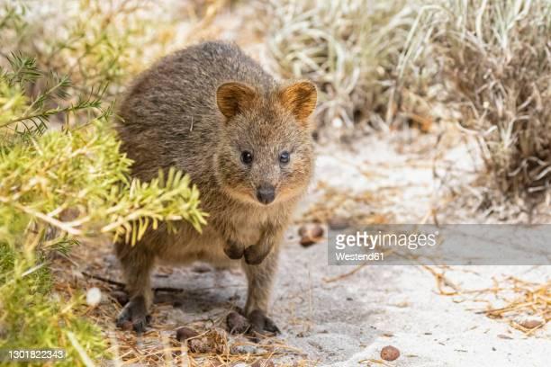 australia, western australia, rottnest island, close up of quokka (setonix brachyurus) - quokka photos et images de collection