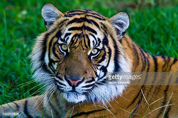 Portrait of a captive endangered Sumatran Tiger resting in the grass.
