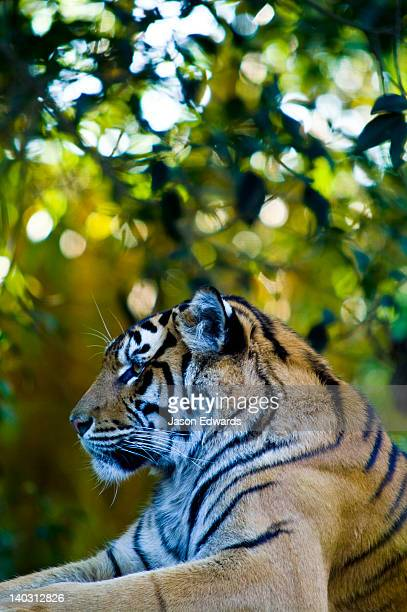 A captive Sumatran Tiger resting on the roof of an artificial temple.