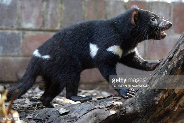 AustraliaenvironmentanimalszooFEATURE by Madeleine Coorey This phot taken on January 13 2009 shows a healthy Tasmanian devil joey displayed as part...