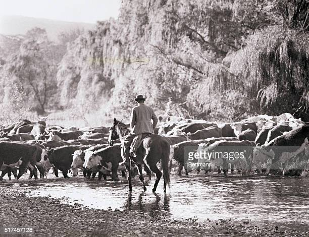 Australian beef cattle, sleek and fat, cross a river near Omeo while returning from summer pastures near the Victorian section of the Australian...