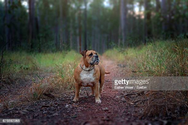 australian bulldog standing in a forest - dog tag stock photos and pictures